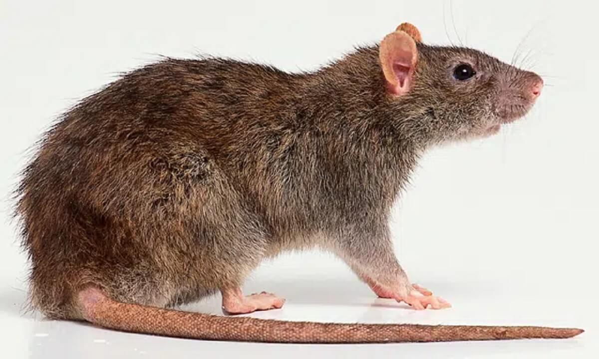 Giải mã chuột vào nhà mang điềm báo gì? Chuột vào nhà điềm tốt hay xấu?